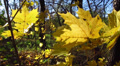 Yellow leaves largely in the wood Footage