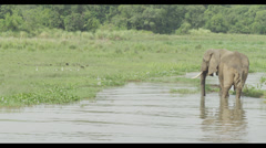 Elephant in River - stock footage