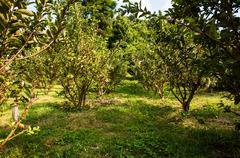 Guava garden - stock photo
