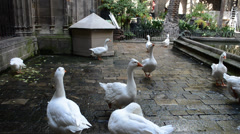 Geese in Cathedral of Saint Eulalia Stock Footage