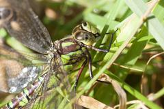 Southern Hawker - grass Stock Photos