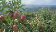 Stock Video Footage of Low aerial view of the apple orchard