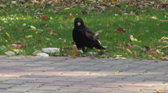 Crow walking on a alley in the park, omnivorous black bird, fall season Stock Footage
