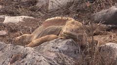 P03048 Land Iguana at Galapagos Island Stock Footage