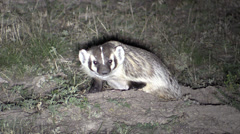 P03006 North American Badger at Hole at Night Stock Footage