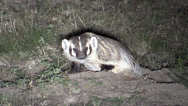 Stock Video Footage of P03006 North American Badger at Hole at Night