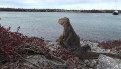 P03021 Land Iguana at Galapagos Island and Beagle Yacht Stock Footage