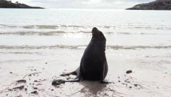 P03047 Galapagos Sea Lion on Beach at Galapagos Islands Stock Footage