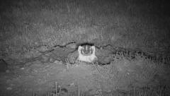 P03007 Badger at Night Using Infrared Camera Stock Footage