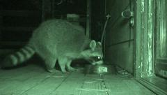 P03008 Raccoon Feeding at Night in Urban Area in Infra-red Stock Footage