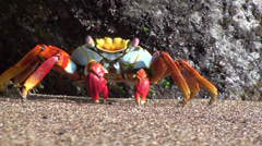 P03010 Sally Lightfoot Crab Feeding at Galapagos Islands Stock Footage