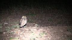 P03003 Burrowing Owl at Night in Great Plains Stock Footage