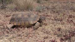 Desert Tortoise Stock Footage