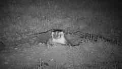 P03029 Badger at Night in Infra-red Stock Footage