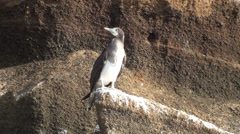P03012 Blue Booby on Rock in Galapagos Island Stock Footage
