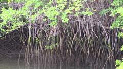 P03092 Mangrove Trees Stock Footage