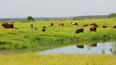 Herd of cows on pasture near lake Stock Footage