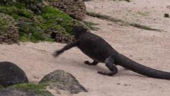 P03096 Galapagos Marine Iguana Running Across  Beach Toward Rocks Stock Footage