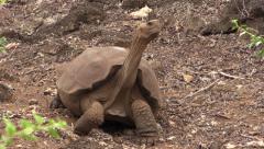 P03079 Saddleback Tortoise Shell Stock Footage