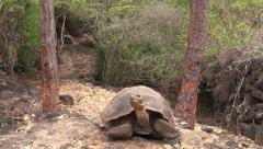 P03077 Galapagos Tortoises on Santa Cruz Islands Stock Footage