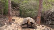 Stock Video Footage of P03077 Galapagos Tortoises on Santa Cruz Islands