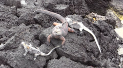 P03091 Marine Iguanas on Rocks Stock Footage