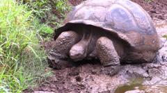 P03065 Galapagos Island Tortoise on Santa Cruz Island Stock Footage