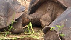 P03075 Galapagos Island Tortoises Feeding Stock Footage