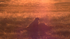 P03069 North American Badger at Sundown on Prairie Stock Footage