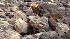 P03057 Galapagos Hawks Feeding on Sea Lion Pup Stock Footage