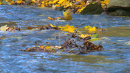 Stock Video Footage of Colorful leafs next to a stream during autumn