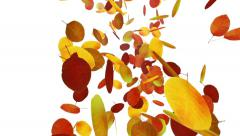 Autumn falling leaves on white background - stock footage