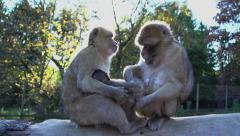 apes. monkey. chimpanzee. wildlife animals nature. slow motion - stock footage