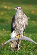 The portrait of northern goshawk, accipiter gentilis Stock Photos