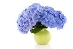 Blue hydrangea in vase Stock Photos