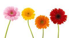 Row colorful gerber Stock Photos