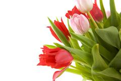 Stock Photo of pink and red tulips