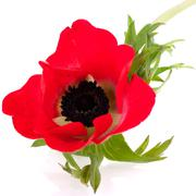 Red anemone Stock Photos