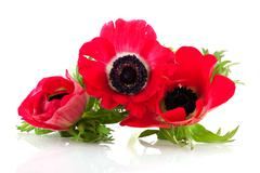 red anemones - stock photo