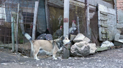 Dog in Chain at Traditional Grange Stock Footage