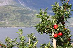 apple-tree on a fjord coast - stock photo
