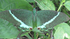 Rare  green butterfly taking rest Stock Footage