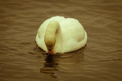 Stock Photo of mute swan afloat
