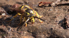 P03000 Mud Dauber or Yellowjacket Getting Mud Stock Footage