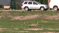 P02967 Urban Wildlife Black-tailed Prairie Dogs Stock Footage