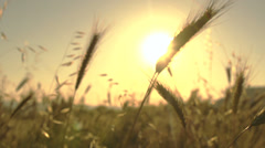 Wheat blades in the sun - stock footage