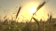 Stock Video Footage of Wheat blades in the sun