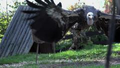 aggressive eagle. bird. slow motion. flying animals - stock footage