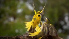 Yellow Cardinals - stock footage