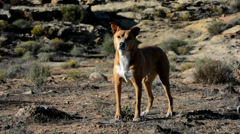 Dog in the Desert Sun, Alert and Fetching Stock Footage